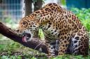 ANS1209 lr Parc des Felins 2012 jaguar
