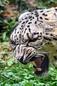 ANS1307 lr Parc des Felins 2012 panthere des neiges