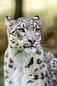 ANS1364 lr Parc des Felins 2012 panthere des neiges