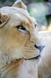 ANS1430 lr Parc des Felins 2012 lion blanc