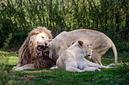 ANS1459 lr Parc des Felins 2012 lion blanc