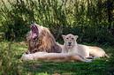 ANS1469 lr Parc des Felins 2012 lion blanc