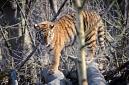 tigre de siberie