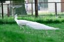 paon blanc (leucistique)