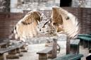 hibou grand duc en vol de face (magnifique)