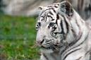 tigre blanc (leucistisme)