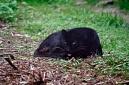 panthère noire (mélanisme)