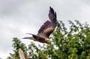 ANS5304 lr La volerie des aigles