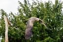 ANS5314 lr La volerie des aigles