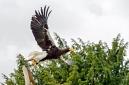 ANS5388 lr La volerie des aigles