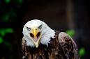 ANS5583 lr La volerie des aigles