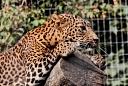 panthère du Sri Lanka