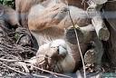 Pumas (le parc des felins)