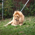 Lion d'Angola (Nature Zoo Mervent)