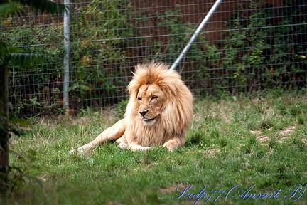 Lion d'Angola (Nature Zoo Mervent)