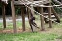 Atèle à ventre blanc (Nature Zoo Mervent)