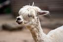 Alpaga (Nature Zoo Mervent)