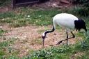 Grue du Japon (Nature Zoo Mervent)
