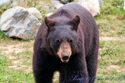 ours d'amérique
