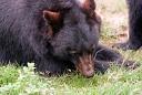 Ours noir d'Amérique (Nature Zoo Mervent)