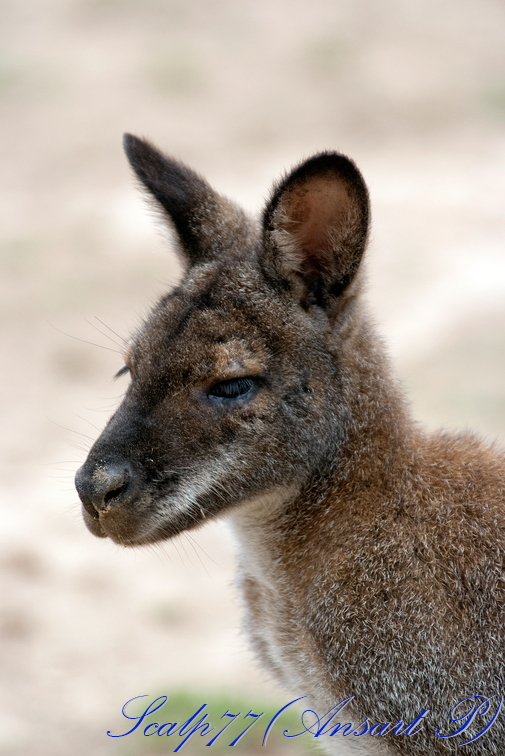 Wallaby de Bemett (Nature Zoo Mervent)