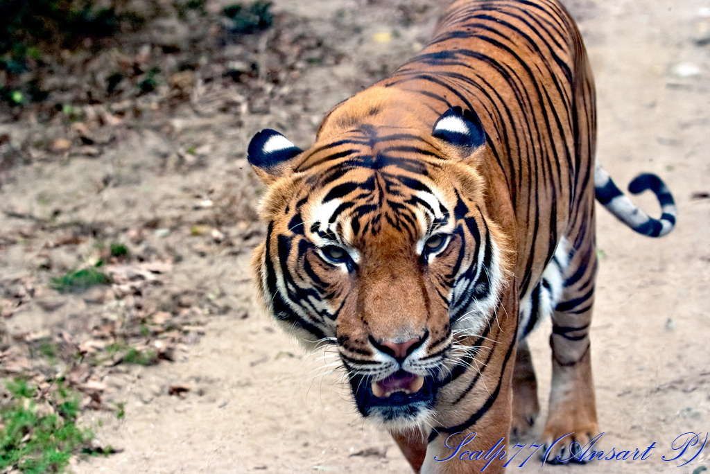 Tigre du Bengal (Nature Zoo Mervent)