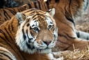 Zoo de Mulhouse Tigre de Sibérie (Tigre de l'Amour)