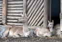 Zoo de Mulhouse cerf de Bactriane
