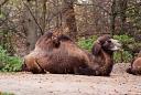 Zoo de Mulhouse Chameau de Bactriane