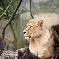 lionne d'asie||<img src=_data/i/galleries/stock_animalier_et_qq_paysages/_DSF2381_LRbdef-th.jpg>