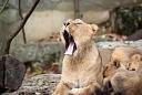 lionne d'asie et ses petits