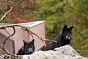Zoo de Mulhouse loup noir