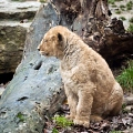 lionceau d'asie||<img src=_data/i/galleries/stock_animalier_et_qq_paysages/_DSF2395_LRbdef-th.jpg>