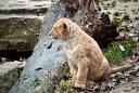 lionceau d'asie