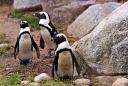 Zoo de Mulhouse Manchot du Cap