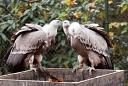 Zoo de Mulhouse Vautour fauve
