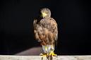 ANS0100 lr les aigles des remparts 2012