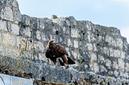 ANS0113 lr les aigles des remparts 2012