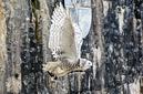 ANS0381 lr les aigles des remparts 2012