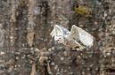 ANS0387 lr les aigles des remparts 2012